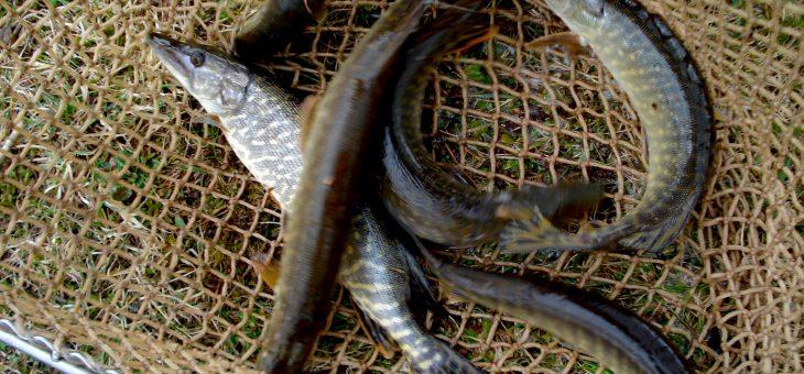 Hecht- und Zanderfischen